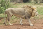 León @ Lion Park
